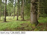 Купить «Forest, landscape, spruces, Picea abies,», фото № 24665383, снято 17 июля 2018 г. (c) mauritius images / Фотобанк Лори