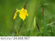 Купить «Marsh iris, iris pseudacorus,», фото № 24668967, снято 20 августа 2018 г. (c) mauritius images / Фотобанк Лори