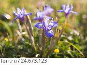 Купить «Blossoms of the dwarf's iris, Iridaceae, Italy, Sardinia,», фото № 24673123, снято 23 июля 2018 г. (c) mauritius images / Фотобанк Лори