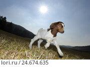 Купить «Boer goat, kid,», фото № 24674635, снято 22 июля 2018 г. (c) mauritius images / Фотобанк Лори