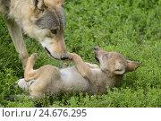 Купить «Eastern wolves, Canis lupus lycaon, puppies, meadow, lying, side view,», фото № 24676295, снято 20 февраля 2019 г. (c) mauritius images / Фотобанк Лори