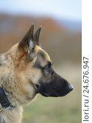 Купить «German shepherd, portrait, side view,», фото № 24676947, снято 20 сентября 2018 г. (c) mauritius images / Фотобанк Лори