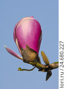 Купить «Magnolia blossom, tulip magnolia, close up,», фото № 24680227, снято 18 августа 2018 г. (c) mauritius images / Фотобанк Лори