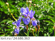Купить «Ирис сибирский (Iris sibirica)», фото № 24686363, снято 5 июня 2012 г. (c) Алёшина Оксана / Фотобанк Лори