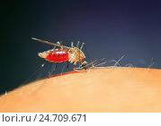 Купить «Противное насекомое комар сидит на коже и пьет кровь», фото № 24709671, снято 22 августа 2016 г. (c) Бачкова Наталья / Фотобанк Лори