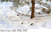 Купить «flock of titmice eating sunflower seeds on snow under a tree», видеоролик № 24709747, снято 16 декабря 2016 г. (c) Володина Ольга / Фотобанк Лори