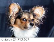 Купить «Портрет шестимесячного щенка папильона крупным планом», фото № 24713667, снято 5 сентября 2016 г. (c) Сергей Лаврентьев / Фотобанк Лори