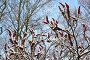 Плоды сумаха дубильного (Rhus coriaria L.), покрытые снегом на фоне неба, фото № 24745059, снято 4 декабря 2016 г. (c) Ирина Борсученко / Фотобанк Лори