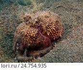 Осьминог, остров Бали, Пури Джати, Индонезия. Стоковое фото, фотограф Александр Огурцов / Фотобанк Лори