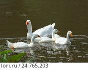 Купить «Гуси в воде реки Ай», фото № 24765203, снято 24 июня 2015 г. (c) Игорь Потапов / Фотобанк Лори