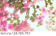 Купить «Bougainvillea flowers in the garden bush in bright rays sunshine. First version.», видеоролик № 24765751, снято 21 декабря 2016 г. (c) Mikhail Davidovich / Фотобанк Лори