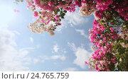 Купить «Bougainvillea floewrs bush against the sky in the garden. The fifth version.», видеоролик № 24765759, снято 21 декабря 2016 г. (c) Mikhail Davidovich / Фотобанк Лори