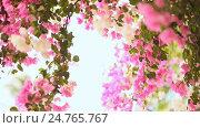 Купить «Bougainvillea floewrs bush against the sky in the garden. The sixth version.», видеоролик № 24765767, снято 21 декабря 2016 г. (c) Mikhail Davidovich / Фотобанк Лори