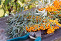 Ягоды облепихи на ветках и секатор, фото № 24770379, снято 9 октября 2016 г. (c) Дудакова / Фотобанк Лори