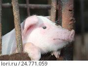 Купить «Поросёнок на ферме», эксклюзивное фото № 24771059, снято 15 марта 2016 г. (c) Вероника / Фотобанк Лори