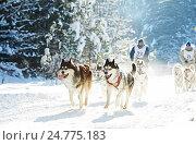 Купить «husky sled dog racing», фото № 24775183, снято 28 января 2012 г. (c) Дмитрий Калиновский / Фотобанк Лори
