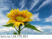 Подсолнух на фоне голубого неба. Стоковое фото, фотограф Оксана Владимировна Грачева / Фотобанк Лори