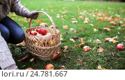 Купить «woman with basket picking apples at autumn garden», видеоролик № 24781667, снято 13 октября 2016 г. (c) Syda Productions / Фотобанк Лори