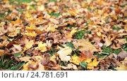 Купить «fallen autumn maple leaves on meadow», видеоролик № 24781691, снято 13 октября 2016 г. (c) Syda Productions / Фотобанк Лори