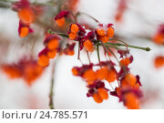 Купить «spindle or euonymus branch with fruits in winter», фото № 24785571, снято 11 ноября 2016 г. (c) Syda Productions / Фотобанк Лори