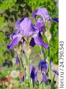 Купить «Фиолетовые бородатые ирисы (лат. Iris barbatus) в саду», фото № 24790543, снято 29 мая 2016 г. (c) Елена Коромыслова / Фотобанк Лори