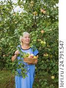 Купить «Женщина под яблоней с корзинкой яблок, август», фото № 24791547, снято 9 августа 2014 г. (c) Александр Романов / Фотобанк Лори