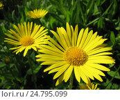 Купить «Дороникум подорожниковый - Doronicum plantagineum», фото № 24795099, снято 28 мая 2016 г. (c) Беляева Наталья / Фотобанк Лори