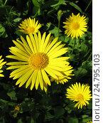 Купить «Дороникум подорожниковый - Doronicum plantagineum», фото № 24795103, снято 28 мая 2016 г. (c) Беляева Наталья / Фотобанк Лори