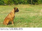 Купить «Молодая собака породы немецкий боксер на прогулке в парке», фото № 24806415, снято 13 сентября 2015 г. (c) Наталья Гармашева / Фотобанк Лори