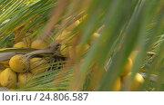 Купить «View of yellow green coconut in the bunch on coconut palm tree with huge leaves», видеоролик № 24806587, снято 13 декабря 2016 г. (c) Данил Руденко / Фотобанк Лори