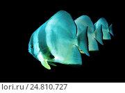 Рыба (Platax teira) Стоковое фото, фотограф Некрасов Андрей / Фотобанк Лори