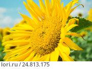 Подсолнух на поле. Стоковое фото, фотограф Ильнар Ханов / Фотобанк Лори