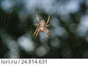 Крупный паук крестовик  (лат. Araneus) из рода аранеоморфных пауков семейства кругопрядов (лат. Araneidae) на паутине в темноте. Стоковое фото, фотограф Наталья Гармашева / Фотобанк Лори