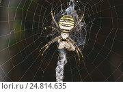 Аргиопа Брюнниха, или паук-оса (лат. Argiope bruennichi) — вид аранеоморфных пауков, представитель обширного семейства пауков-кругопрядов (Araneidae) Стоковое фото, фотограф Наталья Гармашева / Фотобанк Лори