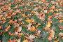 Осенние листья на зеленой траве, фото № 24817215, снято 7 октября 2016 г. (c) виктор химич / Фотобанк Лори