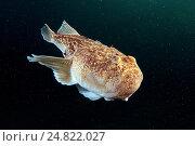Атлантический звездочет (Uranoscopus scaber) Стоковое фото, фотограф Некрасов Андрей / Фотобанк Лори