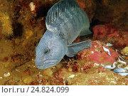 Полосатая зубатка (Anarhichas lupus) Стоковое фото, фотограф Некрасов Андрей / Фотобанк Лори