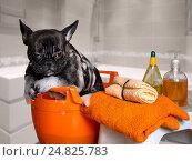 Купить «Маленькая собачка сидит в тазу с пеной», фото № 24825783, снято 27 апреля 2018 г. (c) Ирина Козорог / Фотобанк Лори