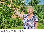 Купить «Пожилая женщина у яблони в саду», фото № 24827035, снято 6 августа 2016 г. (c) Ирина Носова / Фотобанк Лори