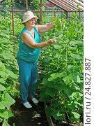 Купить «Пожилая женщина в теплице ухаживает за кустами огурцов», фото № 24827887, снято 26 июня 2016 г. (c) Ирина Носова / Фотобанк Лори