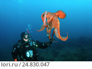 Giant Pacific octopus or North Pacific giant octopus, (Enteroctopus dofleini) takes the diver lantern. Japan sea, Far East, Primorsky Krai, Russia. Редакционное фото, фотограф Некрасов Андрей / Фотобанк Лори