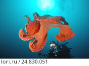 Giant Pacific octopus or North Pacific giant octopus (Enteroctopus dofleini) Japan sea, Far East, Primorsky Krai, Russian Federation (2012 год). Редакционное фото, фотограф Некрасов Андрей / Фотобанк Лори