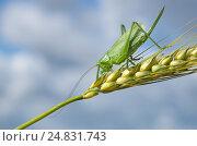 Купить «Зелёный кузнечик (лат. Tettigonia viridissima) на колоске ржи крупным планом», фото № 24831743, снято 9 июля 2016 г. (c) Елена Коромыслова / Фотобанк Лори