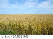 Купить «Поле злаковых в солнечный день», эксклюзивное фото № 24832943, снято 16 июля 2016 г. (c) Елена Коромыслова / Фотобанк Лори