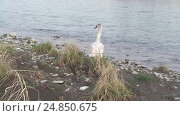 Купить «Молодой лебедь-шипун на берегу реки», видеоролик № 24850675, снято 11 января 2017 г. (c) DiS / Фотобанк Лори