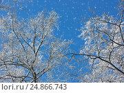 Заснеженные деревья на фоне синего неба. Стоковое фото, фотограф Римма Тельнова / Фотобанк Лори
