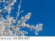 Ветви дерева покрытые инеем на фоне синего неба. Стоковое фото, фотограф Игорь Ясинский / Фотобанк Лори