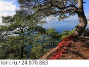 Купить «Сосны и красная скумпия на фоне моря», фото № 24870883, снято 28 октября 2016 г. (c) Яна Королёва / Фотобанк Лори
