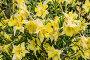 Желтая аквилегия или водосбор, фото № 24872207, снято 4 июля 2014 г. (c) Наталья Волкова / Фотобанк Лори