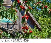 Спелые ягоды черешни на фоне потемневшей дощатой стены хозяйственной постройки. Стоковое фото, фотограф Игорь Кириленко / Фотобанк Лори